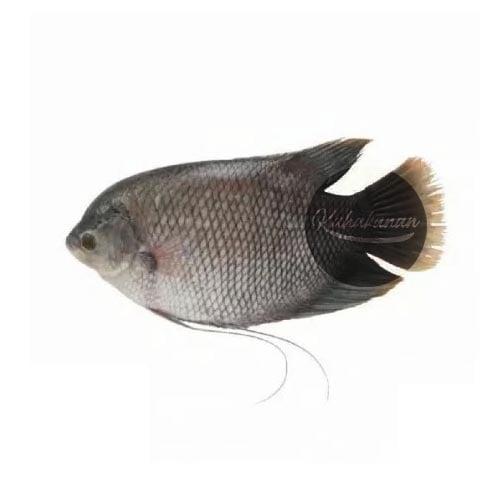 Ikan Gurame Segar