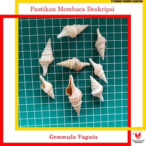 Gemmula Vagata 100gr Bondarts Cangkang Kerang Prakarya