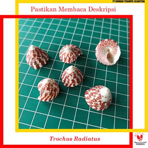 Trochus Radiatus 100gr Bondarts Cangkang Kerang Prakarya